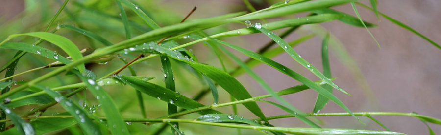 bamboo-leaves1_intro