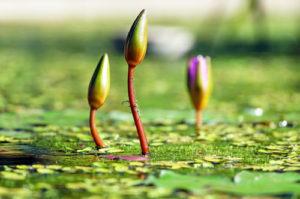 water-lilies_intext