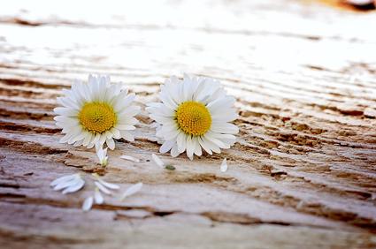 daisy-747320_640 copy