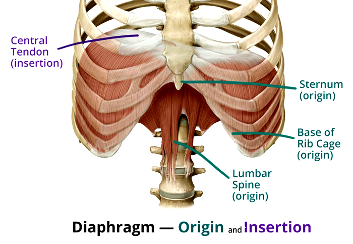 diaphragm-origin-insertion