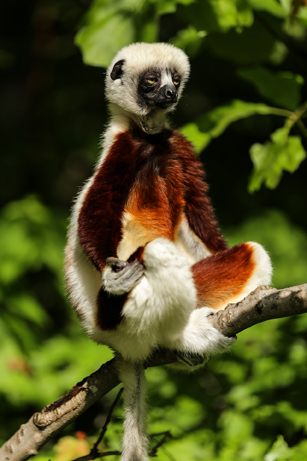 lemur-1794520_1920 copy