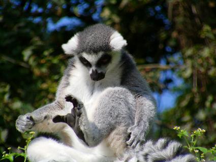ring-tailed-lemur-275508_