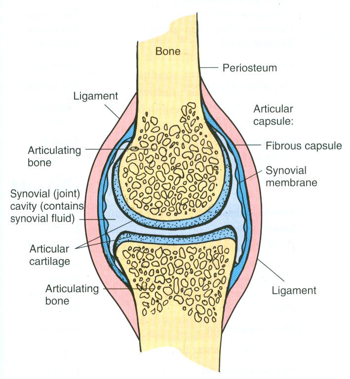 synovial-joint-web