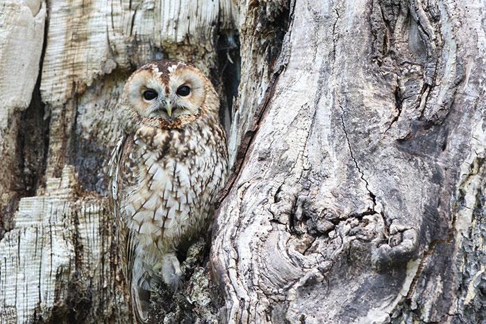 owl-600-web