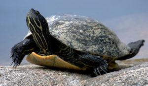 turtle-1000-web